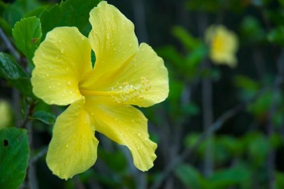 Kauai Yellow Flower