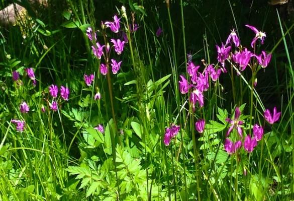 Purple Mountain Flowers Close