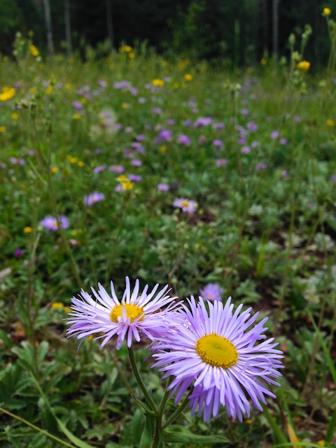 Asters in Meadow Best