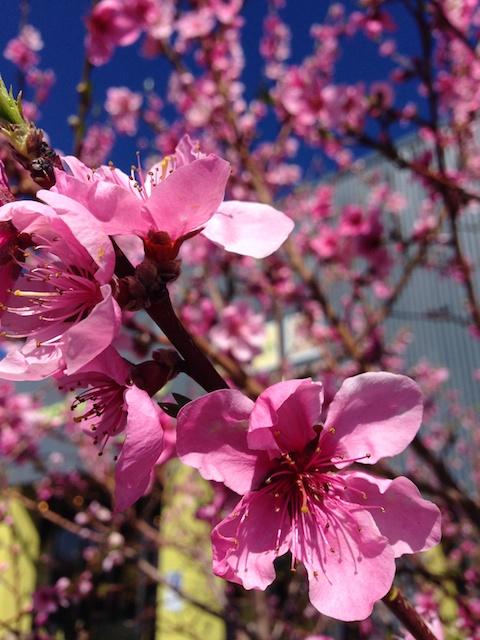 Apple Blossom Coop