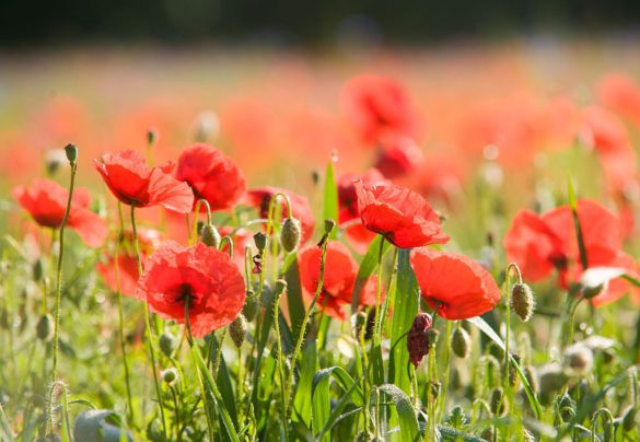 Field-of-poppies-364165
